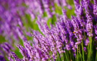 Benefits of Lavender Essential Oil